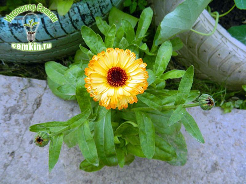 Календула цветок выращивание 1