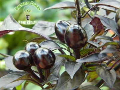 Перец острый декоративный Черная жемчужина (Trade House Seeds) Инспектор Семкин