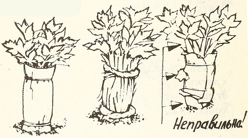 Сельдерей листовой многолетнее растение или нет