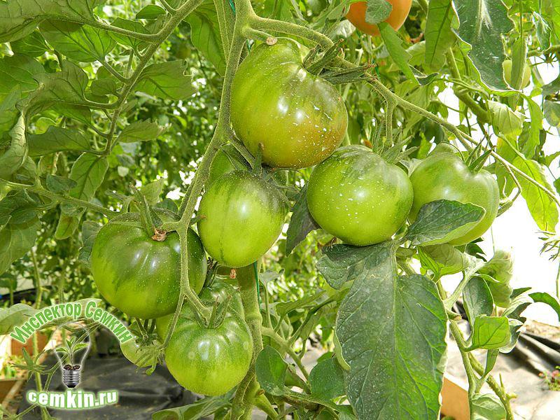 также томат цыган отзывы фото урожайность этом